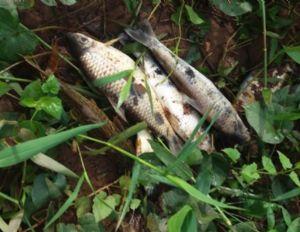 Após mortandade de peixes, MP coleta amostras de água para verificar causas (Crédito: Reprodução)