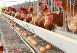 Produção de ovos de galinha bate novo recorde no país, diz IBGE