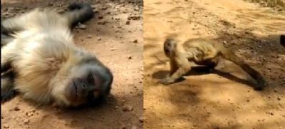 Imagens mostra desespero de macaco, caído no meio da estrada