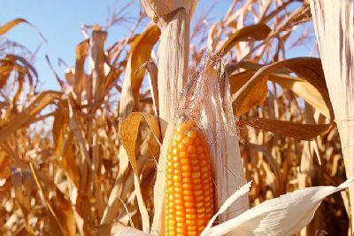 Mato Grosso segue como maior produtor de grãos do país